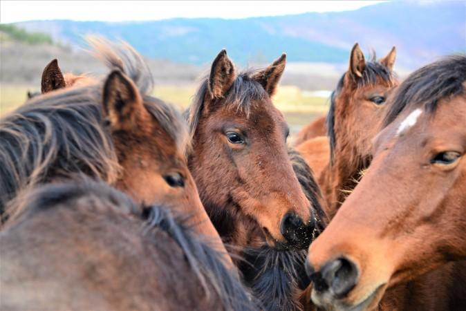 Autohtona rasa domaćih brdskih konja